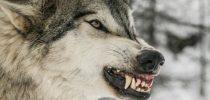 حمله-گرگها-به-گوسفندان