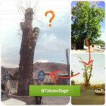 درخت چنار روستای طبس